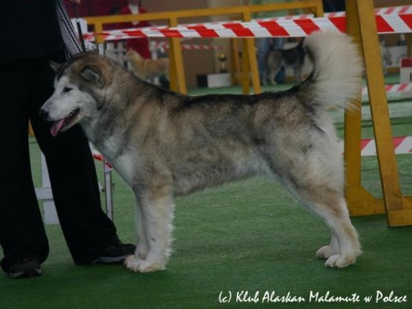 Ch. PL   Mł.Ch. PL Her Howling Highness Lady Handra Sausimayok